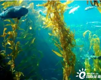 海洋生物质能具有巨大潜力