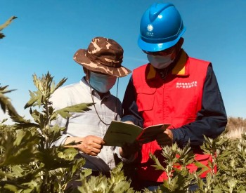 新疆国网芳草湖供电服务艾草种植,助农户增收