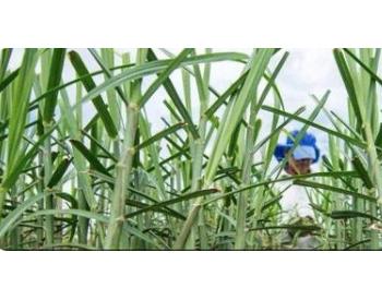 能源蔗可以比大豆产出更多的生物柴油,并且成本更低